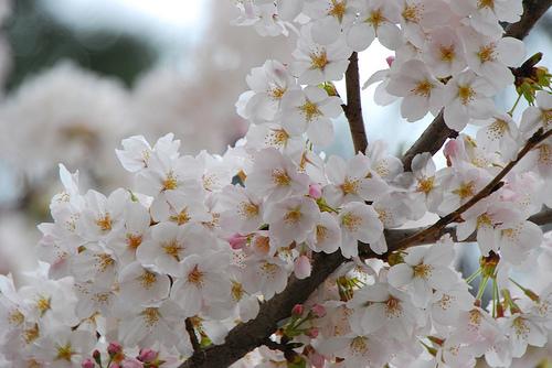 20100404_市川の桜