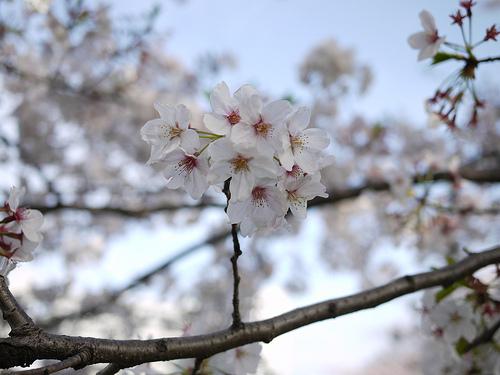 20100410_しながわ花海道